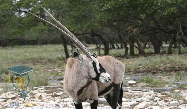 حيوان المها العربي صفاته